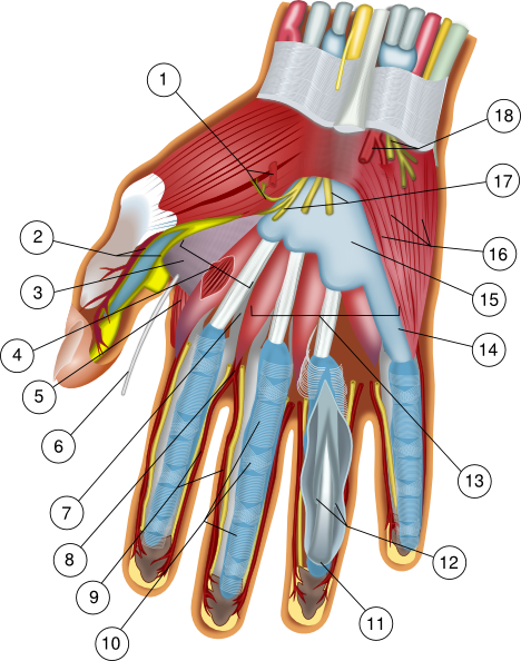 Hand Anatomy Clip Art At Clker Vector Clip Art Online Royalty