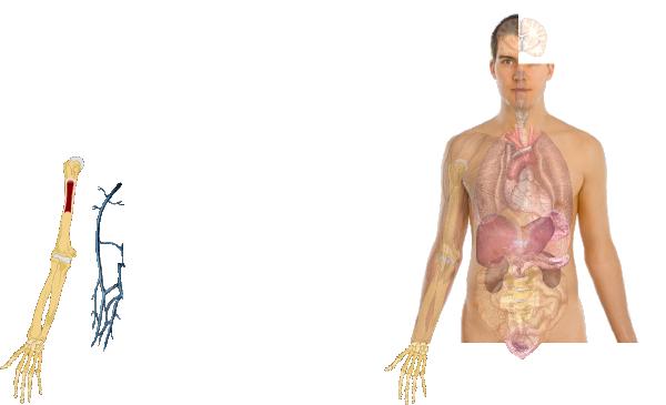 Human body anatomy basics model clip art at clker vector clip human body anatomy basics model clip art ccuart Images