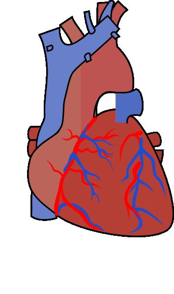 heart diagram vein clip art at vector clip art. Black Bedroom Furniture Sets. Home Design Ideas