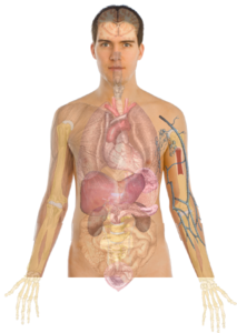 Human Body Anatomy Basics2 Clip Art