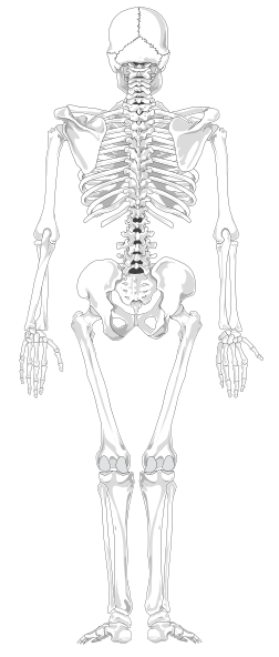 skeleton posterior clip art at clker - vector clip art online, Skeleton