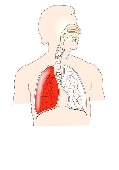 Unlabelled Respiratory System Clip Art at Clker.com ...