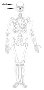 Skeleton By Ignatius Clip Art