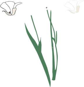 White Long Stem Flower Broke Apart Clip Art