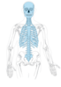 Axial Skeleton Diagram Clip Art at Clker.com - vector clip ...