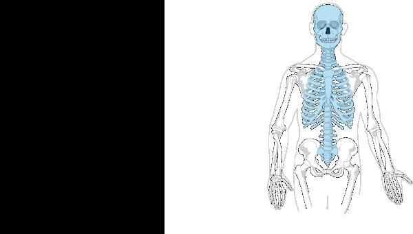blank appendicular skeleton - photo #2