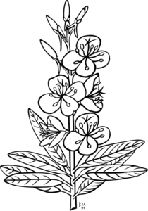 Fireweed Plant Clip Art