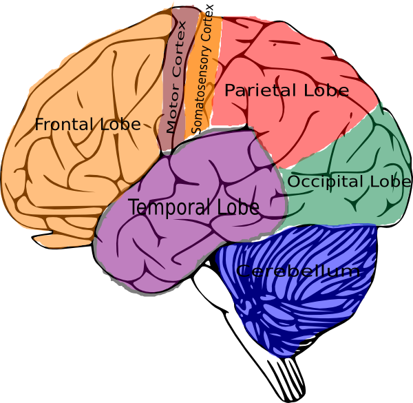 Brain Topographic Function Clip Art at Clker.com - vector ...