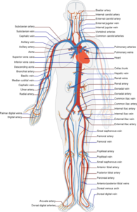 Circulatory System Clip Art
