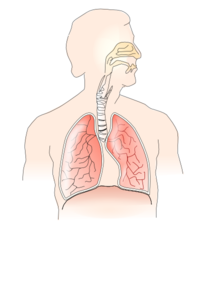 show diagram of human lungs unlabelled human lungs diagram #2