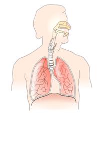 Unlabelled Respiratory System Clip Art at Clker com