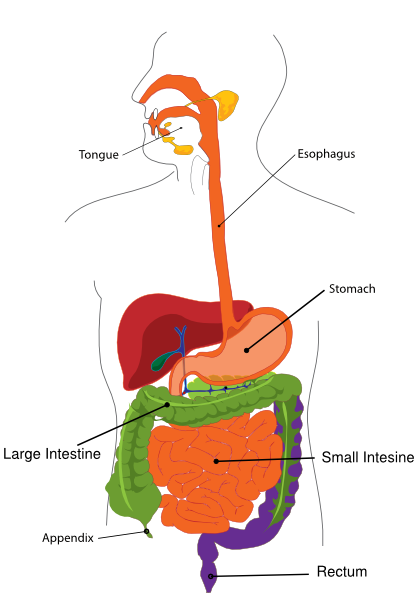 Simplified Digestive System Clip Art at Clker com vector