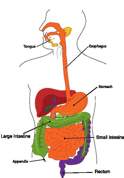 bat digestive diagram simplified digestive system clip art at clker com vector pig digestive diagram #5