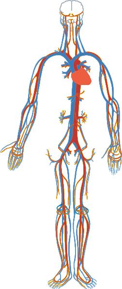 Circulatory Clip Art At Clker Com
