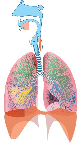Respiratory Clip Art At Clker Com