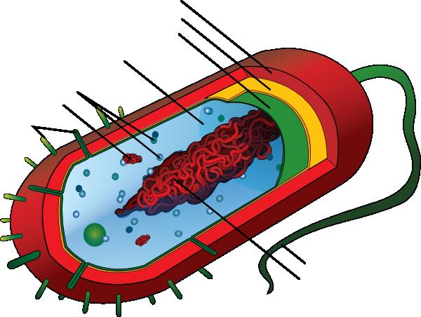 Unlabeled Bacteria Clip Art at Clker.com - vector clip art ...