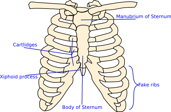Labelled Rib Cage Clip Art At Clker Com