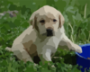 Puppy Lab Hd Wallpaper Clip Art