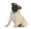 Fawn Pug Pup Weeks Old Sitting White Background Clip Art