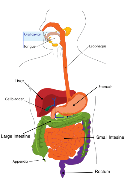 simplified digestive system clip art at clker com