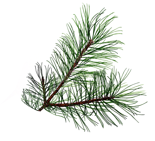 pine branch free images at clker com vector clip art free family tree clip art images free family tree clipart in vector