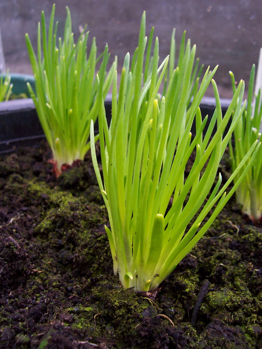 chives grass plants