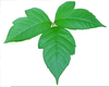 Free Clipart Ivy Leaves Image