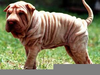 Dog Loose Skin Image