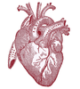 Heart Vintageanatomy Graphicsfairy Red Image
