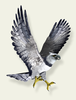 Eagle In Flight Clipart Image