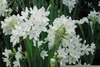 Narcissus Bulbs Image