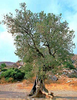 Greek Olive Tree Image