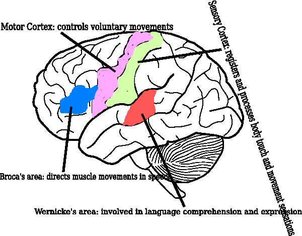 Brain Diagram Clip Art At Clker Com