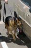 Chico, A Military Working Dog, Leads His Trainer Around A Vehicle During A Daily Training Exercise. Clip Art