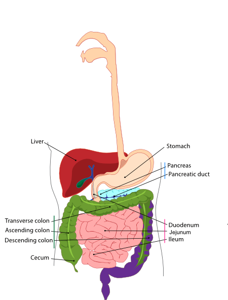 Digestive Small Intestine Clip Art At Clker Com