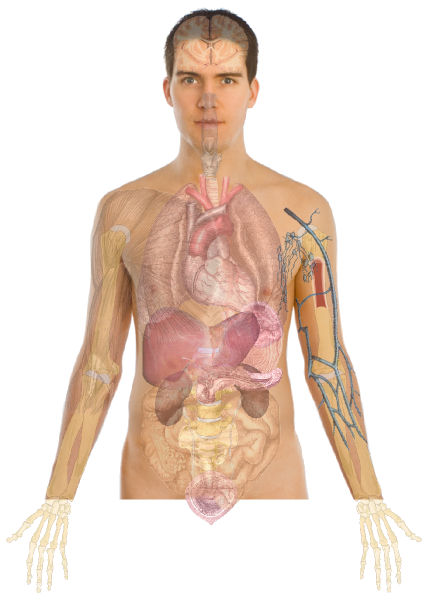 Human Body Anatomy Basics No Lines Clip Art At Clker Com