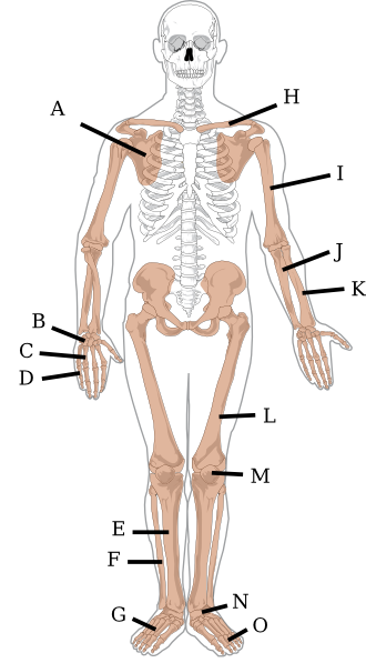 Appendicular Skeleton Quiz Diagram Clip Art At Clker Com