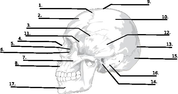 blank skull bones quiz clip art at clker com