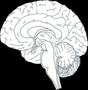 Brain Inside View 5 Clip Art at Clker.com - vector clip ...