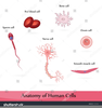 White Blood Cells Clipart Image