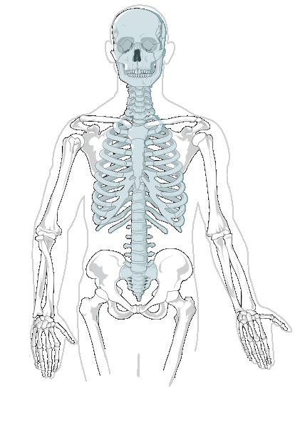 Axial Skeleton - Clean Clip Art At Clker Com