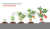 Free Clipart Tomato Plants Image