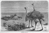 Ostriches Black And White Image