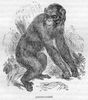 Chimp Black And White Image