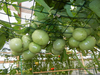 Grow Tomatoes Vertically Image