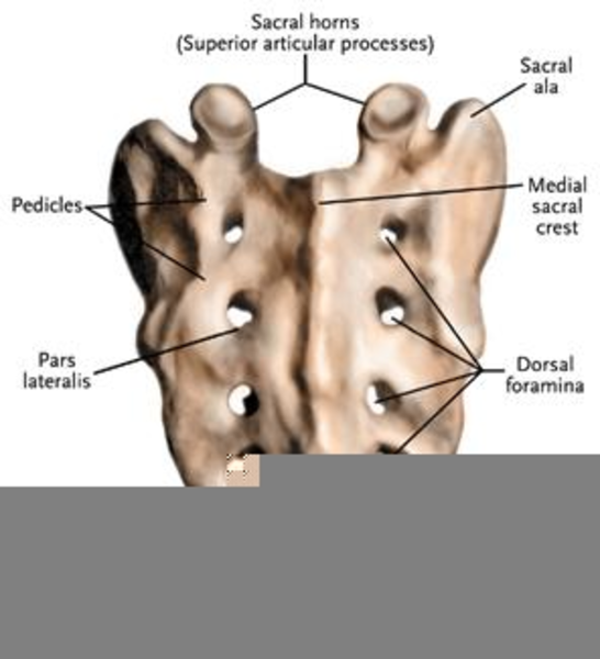 Sacral Spinous Process Free Images At Clker Vector Clip Art