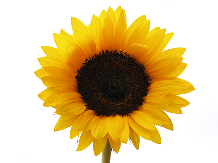 13440412741381521061sunflower1