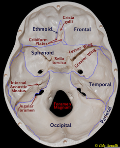 Inside Skull    Labeled      Free Images at Clker  vector clip art online  royalty free   public