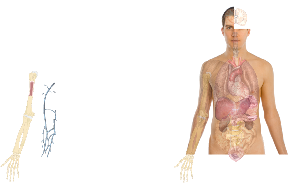 Human Internal Organs Diagram