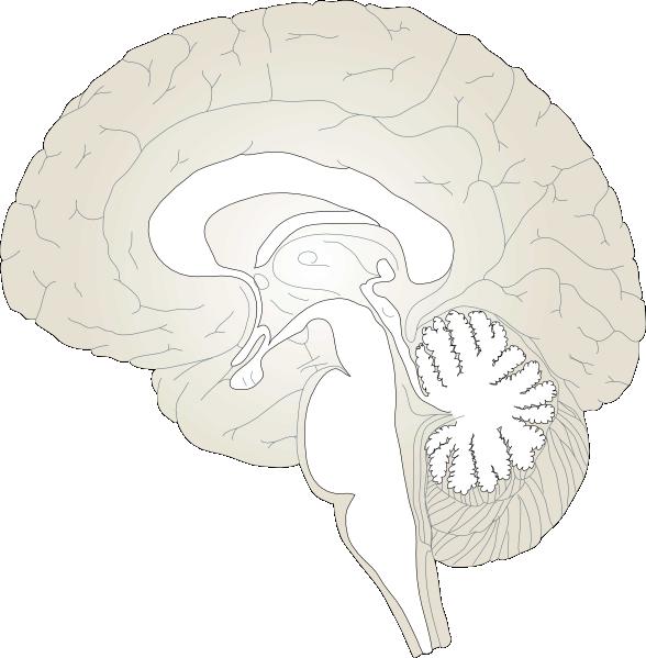 Brain Lateral View Clip Art at Clker.com - vector clip art ...